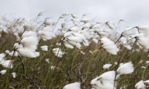 Linaigrette - Cotton grass. Badbea, côte Est.