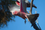 Galah, Port Willonga.